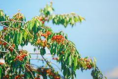 Cerise ou merise sur l'arbre Images libres de droits