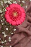 Cerise pink Gerbera flower Royalty Free Stock Image