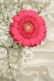 Cerise pink Gerbera flower Stock Image