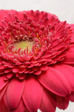 Cerise pink Gerbera flower Royalty Free Stock Photography