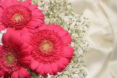 Cerise pink Gerbera flowers Stock Photos