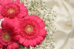 Cerise pink Gerbera flowers Stock Photos