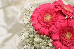 Cerise pink Gerbera flowers Royalty Free Stock Photo
