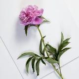 Cerise Pink Peony Flowers på den trävita tabellen Royaltyfria Foton