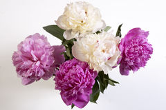 Cerise Pink und die weiße Pfingstrose blüht auf der hölzernen weißen Tabelle Lizenzfreies Stockbild