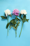 The Cerise Pink and white Peony Flowers on the blue paper background Stock Images