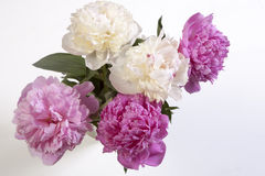 The Cerise Pink and white Peony Flowers on the wooden white table Stock Photo