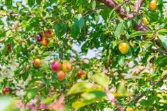 Cerise-prune d'arbres fruitiers de fond image stock