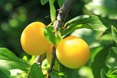Cerise-prune jaune sur l'arbre Baies jaunes mûres de prune sur la branche Photo stock