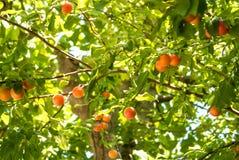 Cerise-prunes oranges mûres fraîches accrochant sur une branche d'arbre dans l'orcha Photo stock