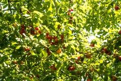 Cerise-prunes oranges mûres fraîches accrochant sur une branche d'arbre dans l'orcha Image libre de droits