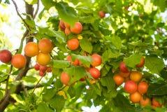 Cerise-prunes oranges mûres fraîches accrochant sur une branche d'arbre dans l'orcha Photos stock