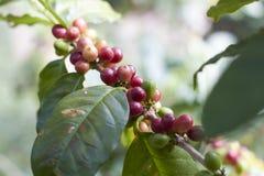 Cerise rouge de café sur la branche Grains de café Photos libres de droits