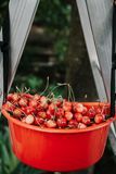 Cerise rouge mûre dans le récipient en plastique Photos stock