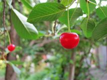 Cerise rouge mûre juteuse dans une branche d'arbre photo libre de droits