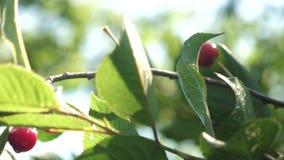 Cerise rouge sur la branche d'arbre avec des paires de baies d?licieuses, plan rapproch? verger de cerise avec les baies rouges m banque de vidéos