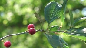 Cerise rouge sur la branche d'arbre avec une paire de baies d?licieuses Plan rapproch? verger de cerise avec les baies rouges m?r banque de vidéos