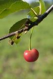 Cerise rouge sur un arbre Images stock