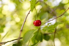 Cerise rouge sur un arbre en été Images stock