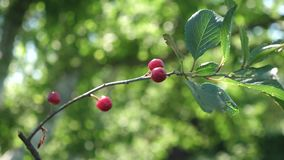 Cerise rouge sur une branche d'arbre avec une paire de baies délicieuses, plan rapproché verger de cerise avec les baies rouges m banque de vidéos