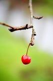 Cerise sur l'arbre Photographie stock