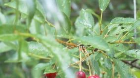 Cerise sur un arbre sous la pluie dans le jardin banque de vidéos