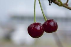 Cerises accrochant sur une branche de cerisier Photo libre de droits