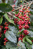 Cerises croissantes de café Images stock