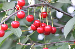Cerises dans l'arbre d'enfance Image stock