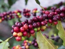 Cerises de café Photo libre de droits