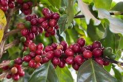 Cerises de café Image libre de droits