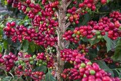 Cerises de café Photographie stock libre de droits