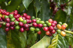 Cerises de café Images stock