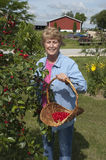 Cerises de cueillette d'épouse de fermier de cerisier Photo libre de droits