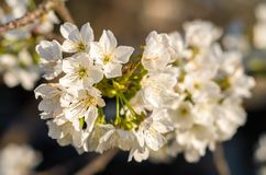 Cerises de floraison au printemps Fleurs de cerise dans la perspective d'arbre Fleur de fleurs blanches images stock