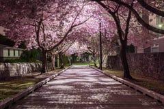 Cerises de floraison sur la rue de nuit Photo libre de droits