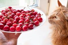 Cerises de offre à la vue de côté de chat rouge photo stock