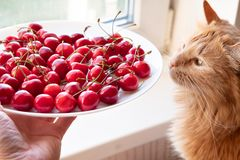 Cerises de offre à la vue de côté de chat rouge photographie stock