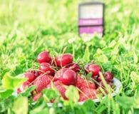 Cerises et fraises dans l'herbe Photographie stock