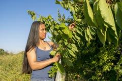 Cerises femelles asiatiques de cueillette un jour d'étés Photos libres de droits