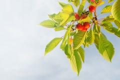 Cerises mûres sur le fond de branche - vue d'angle faible Photographie stock