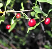 Cerises mûres sur une branche d'arbre Photo libre de droits