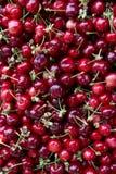 Cerises organiques sélectionnées par main Photo stock