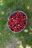 Cerises organiques sélectionnées par main Photo libre de droits
