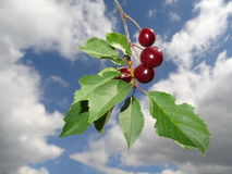 Cerises rouges Photo stock