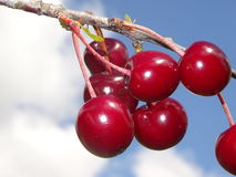 Cerises rouges Photo libre de droits