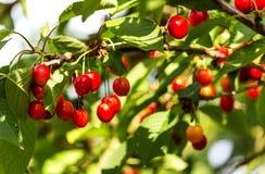 Cerises rouges douces sur l'arbre photographie stock libre de droits
