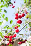 Cerises rouges fraîches sur une branche Image libre de droits
