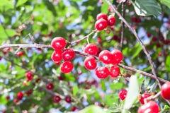 Cerises rouges fraîches sur une branche Photo stock