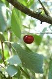 Cerises sur une branche avec des feuilles Photos libres de droits
